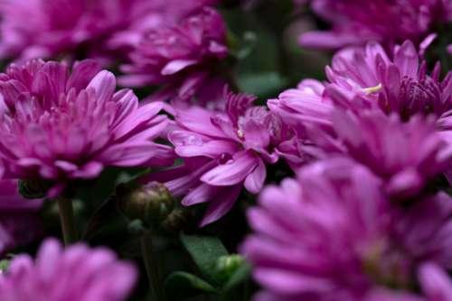 flowers dew nature purple petals