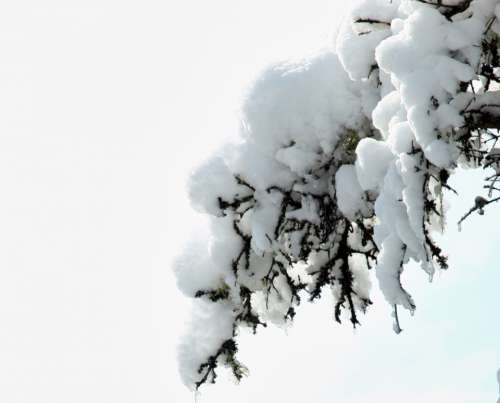 snow branch tree isolated pine