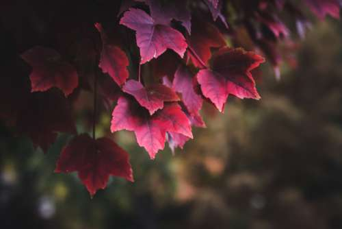 red autumn leaves foliage branch