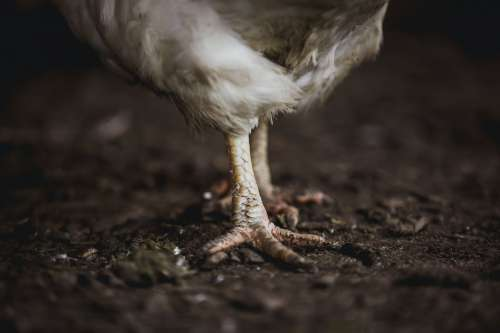 Chicken Toes Photo