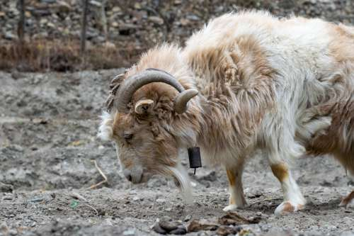 Woolly Goat With Bell Photo