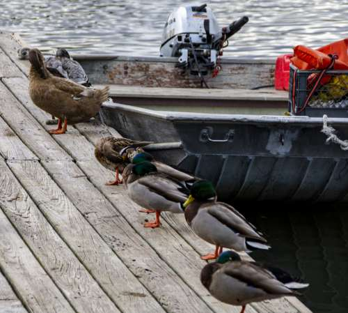 Ducks And Boat