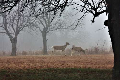 Two Deer In Morning Fog