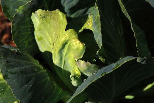 Deformed Leaf Of A Cabbage