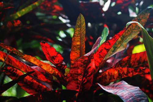 Red Leaves Of A Croton Plant