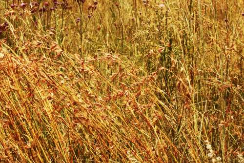 Red Coloured Wild Grass In Seed