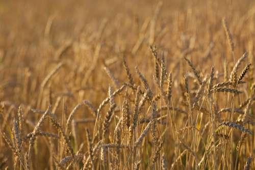 wheat background autumn nature field