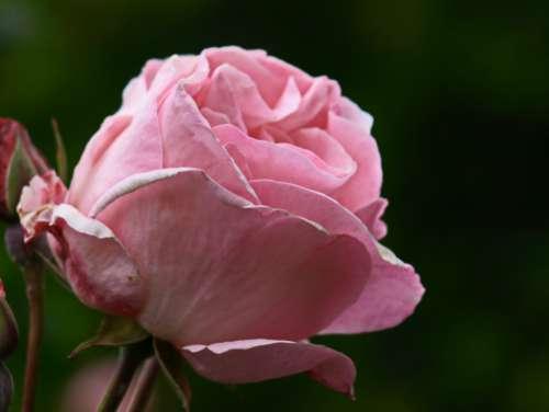 pink rose macro flower bloom