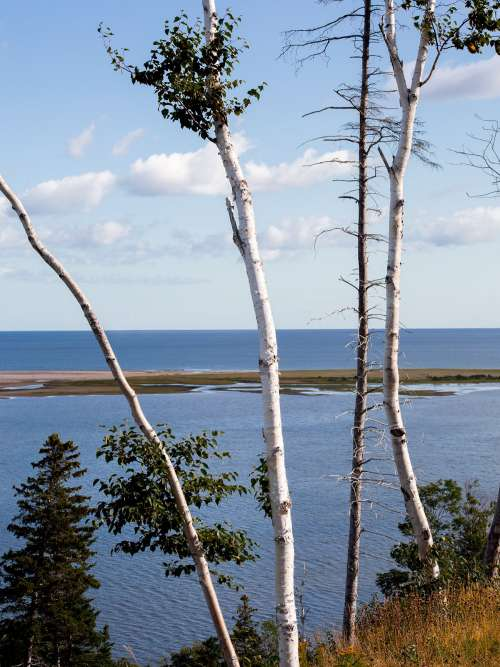 Birch Trees Looking Out To Water Photo