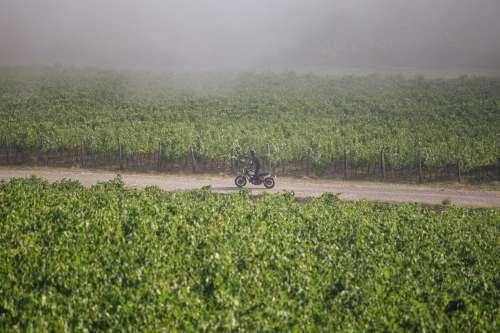 Moped In Vineyard Photo