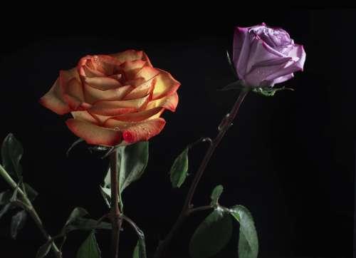 Roses In The Dark Photo