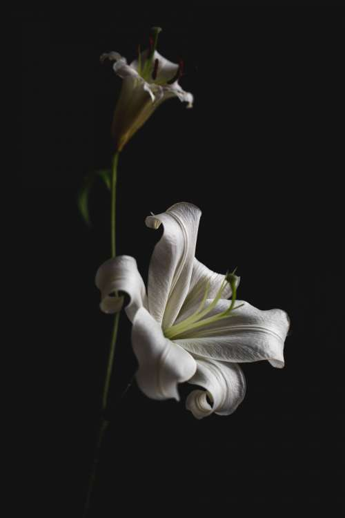 Bright Lily In Dark Space Photo