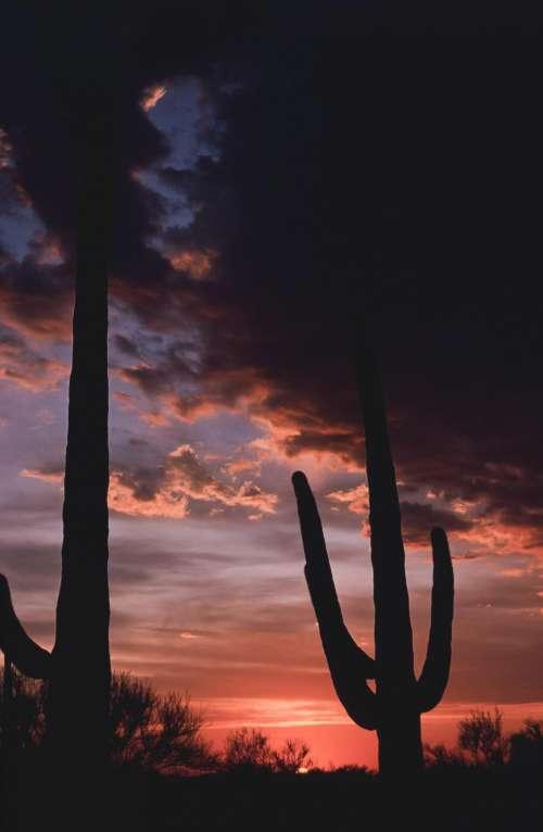 Two Saguaro Cactus