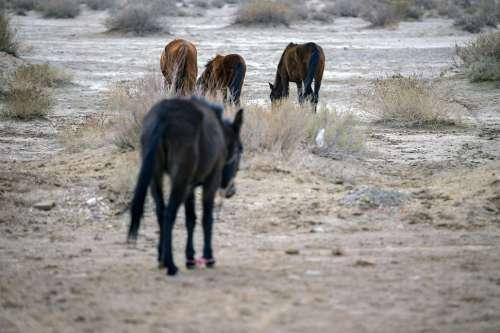 Desert animals - Horses