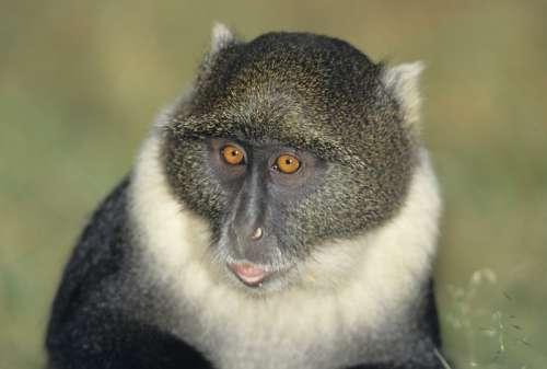 Blue monkey (Cercopithecus mitis), headshot, (Close-up)