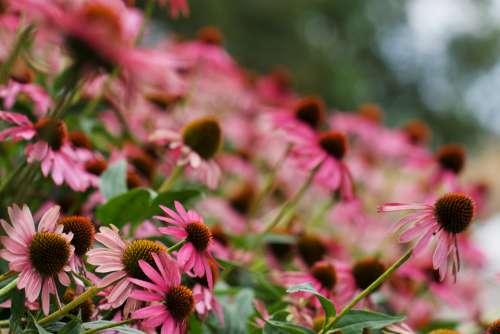 pink garden flower bloom fresh