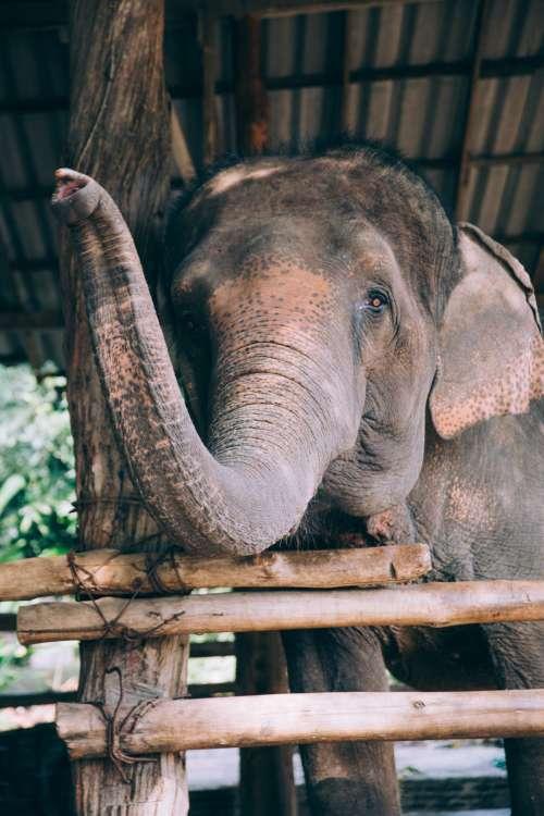 Waving Elephant Trunk Photo