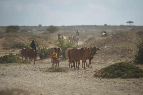 desert, herd, cattle farming, livestock, grassland, wildlife, beef, animals