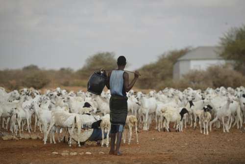 sheep, mammal, goats, cattle breeding, herder, farmer, farming, man, people, work, herd of sheep, farm, agriculture, animal, rural