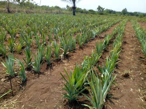 farm, field, agroecology, agriculture, earth, pineapple plantation, plants, botanical garden, nature, environment