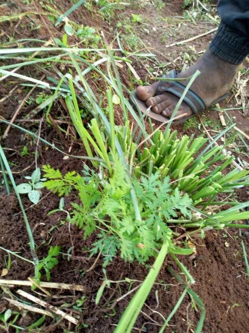cut vertiverts, plank, garden, farm, mulching, hoeing, farm, plants, nature, environment, vegetal