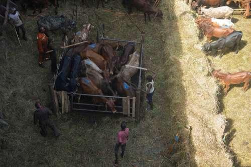 people, animals, mammal, farming, livestock, men, breeders, work, cattle, sheep, farm, barn
