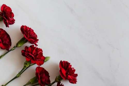 Carnation Backgrounds