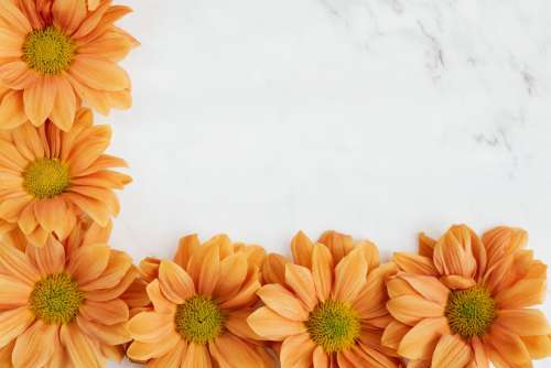 Enbee Wedding Golden - Chrysanthemums