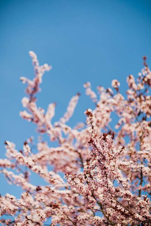 Cherry plum - Prunus cerasifera