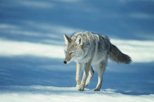 Coyote walking on snow, USA