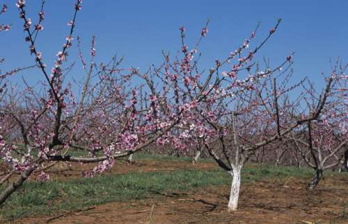 Flowering peach orchard, early Spring, Georgia, USA