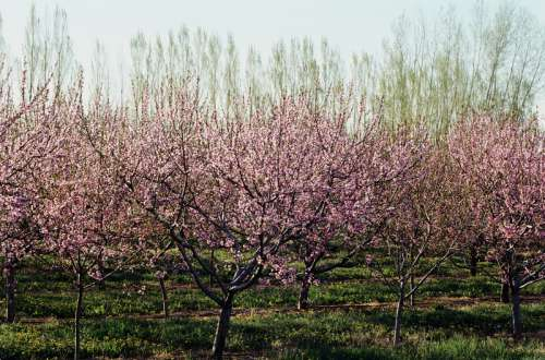 Blooming fruit trees in orchard