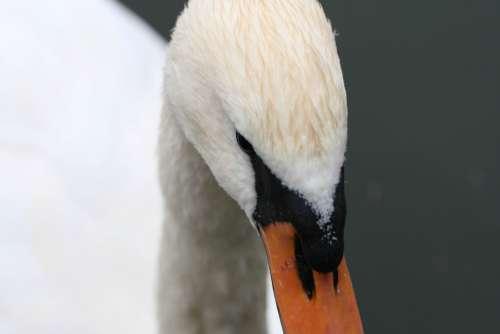 swan close up bird wildlife face
