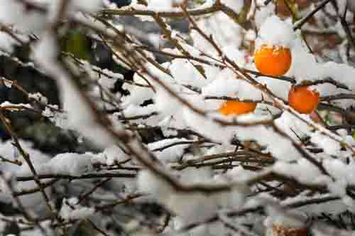 Winter Snow On Tree Branches With Orange Crab Apples