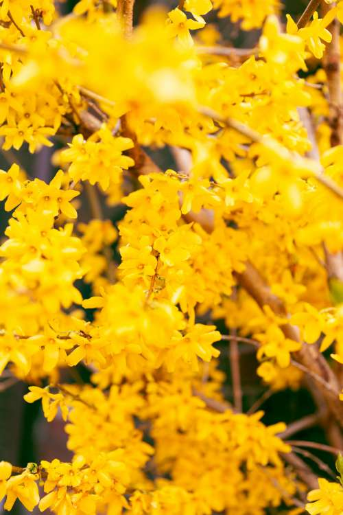 Flowering Plant Forsythia Photo