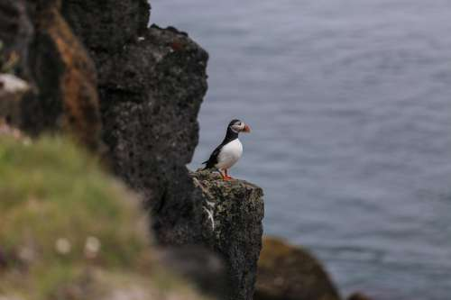 Puffin Sits Upon A Rock Photo