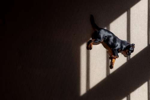Shadows Cast Over Brussels Griffon Puppy Photo