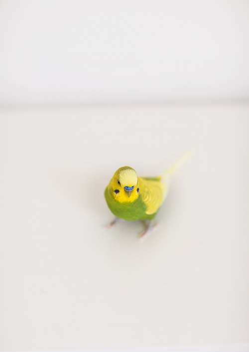 A Blue And Green Parakeet On White Photo