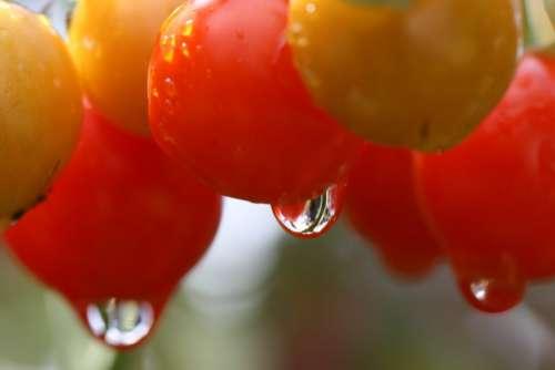 Tomatoes Garden Free Photo