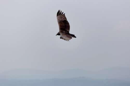 bird flying sky wings hawk
