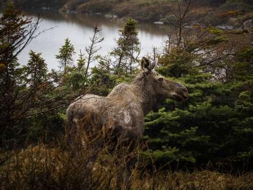 Moose Spots Photographer Photo