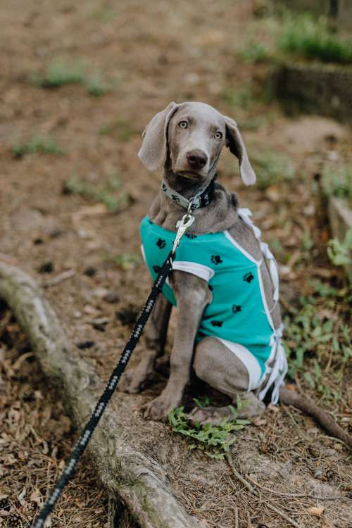 Dog dressed in post-surgery clothes - Recovery Suit
