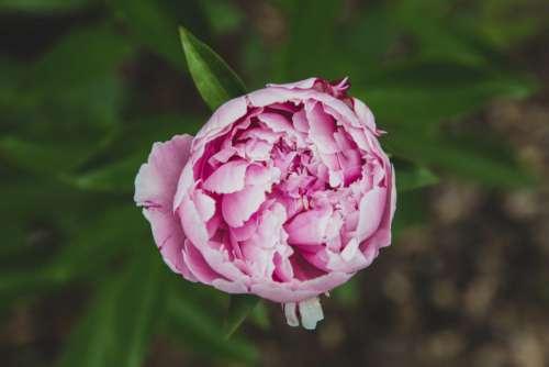 Pink Flower Garden Free Photo