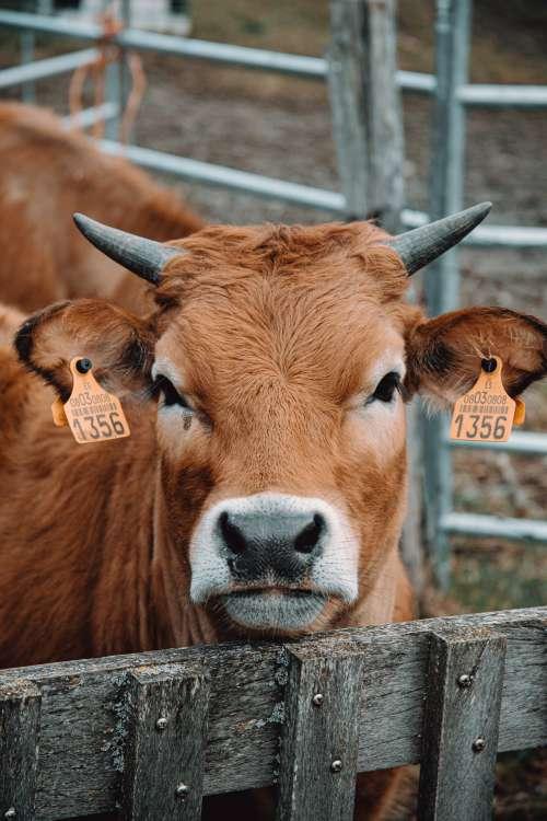Portrait Of A Calf Photo