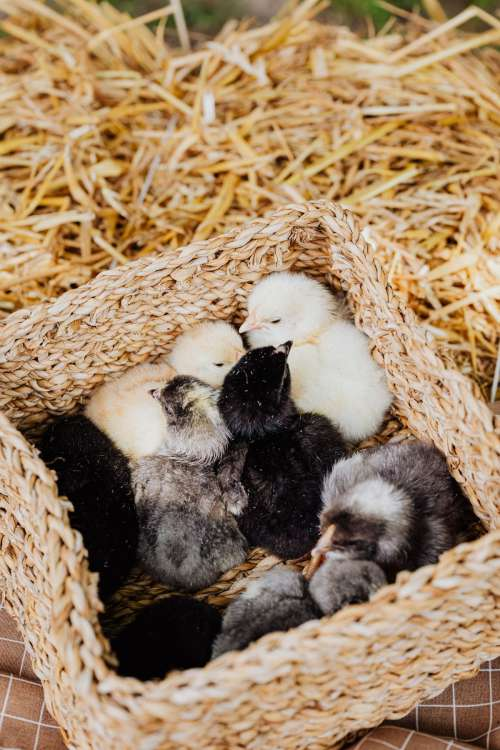 Cute baby chickens