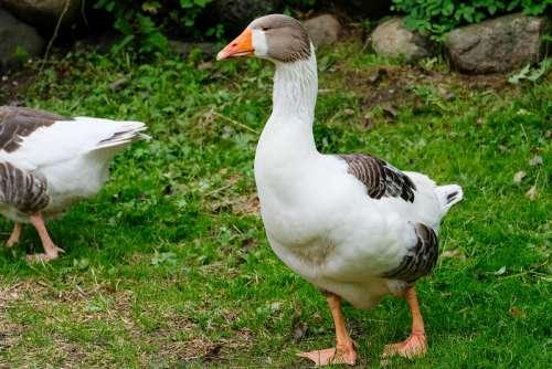 Home Goose