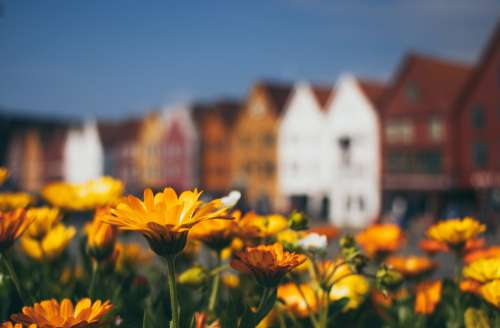 A Field Of Flowers In Front Of Buildings Photo