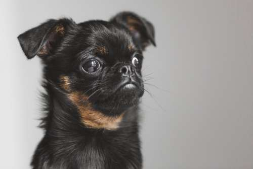 Brussels Griffon Puppy Pondering Existence Photo