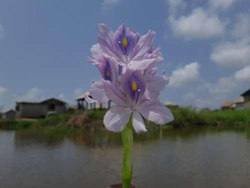 flower, nature, plant, flora, environment, biodiversity, petals, water hyacinth, landscape