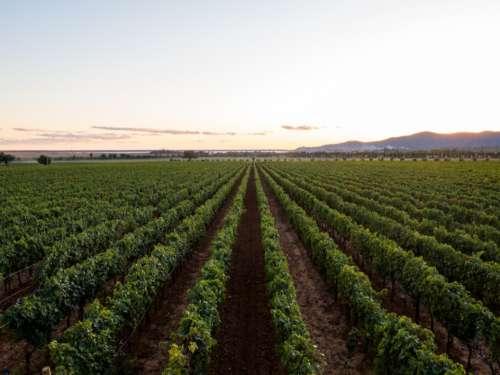 Wine Vineyard Free Photo